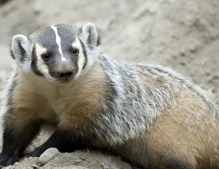 Bloom the badger from the BC Wildlife Park